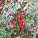 ice storm berries